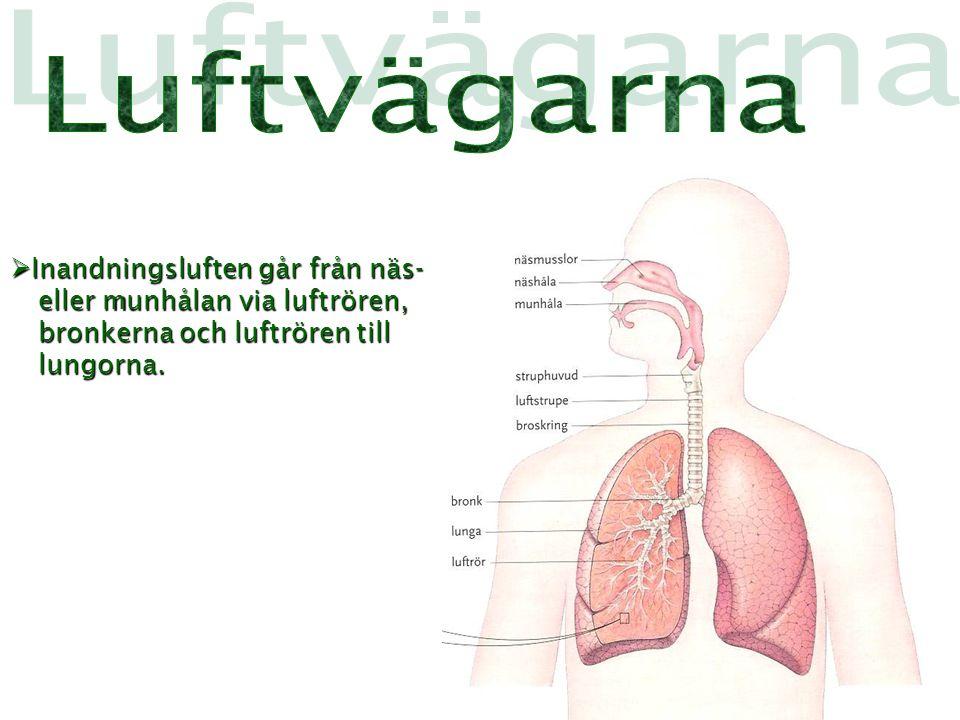  Inandningsluften går från näs- eller munhålan via luftrören, bronkerna och luftrören till lungorna.
