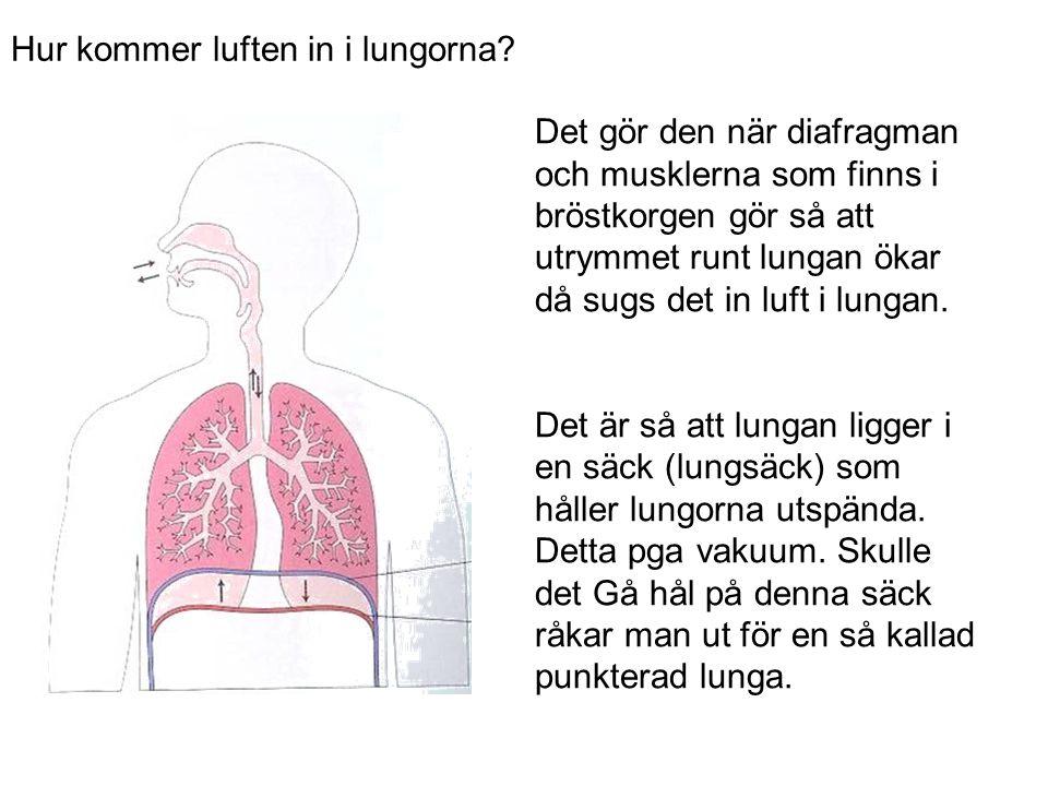 Det gör den när diafragman och musklerna som finns i bröstkorgen gör så att utrymmet runt lungan ökar då sugs det in luft i lungan. Det är så att lung
