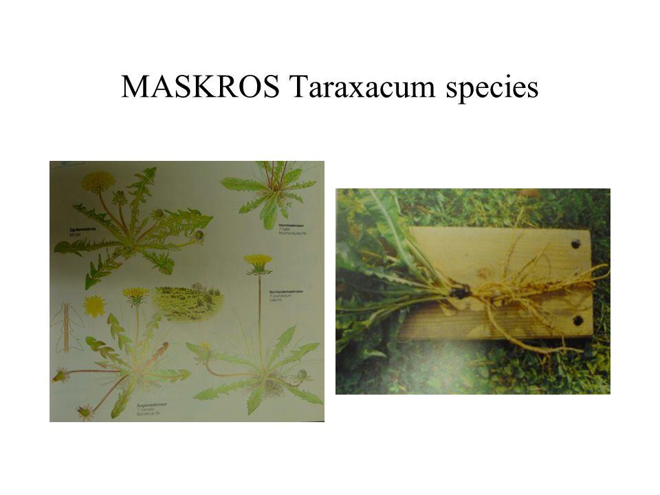 MASKROS Taraxacum species