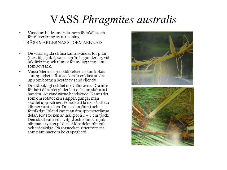 VASS Phragmites australis •Vass kan både användas som födokälla och för tillverkning av utrustning. TRÄSKMARKERNAS STORMARKNAD •De vissna gula stråna