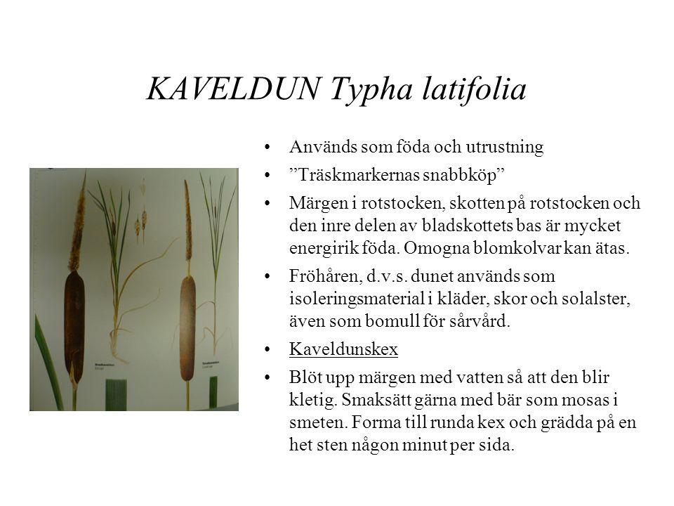 KAVELDUN Typha latifolia •Används som föda och utrustning • Träskmarkernas snabbköp •Märgen i rotstocken, skotten på rotstocken och den inre delen av bladskottets bas är mycket energirik föda.