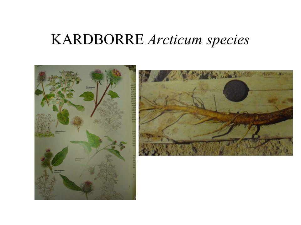 KARDBORRE Arcticum species