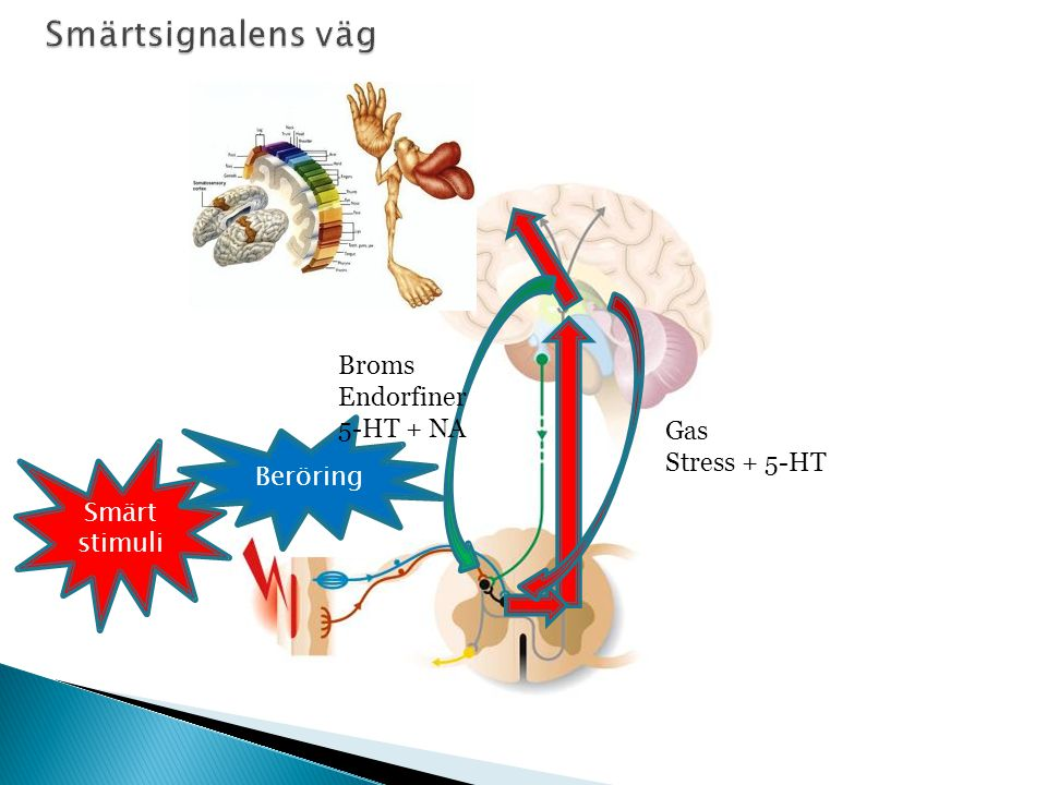 45 Smärt stimuli Beröring Gas Stress + 5-HT Broms Endorfiner 5-HT + NA