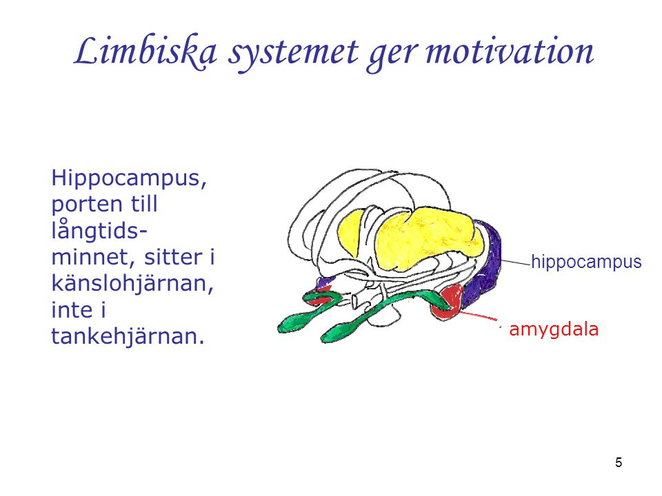 5 Limbiska systemet ger motivation hippocampus Hippocampus, porten till långtids- minnet, sitter i känslohjärnan, inte i tankehjärnan. amygdala