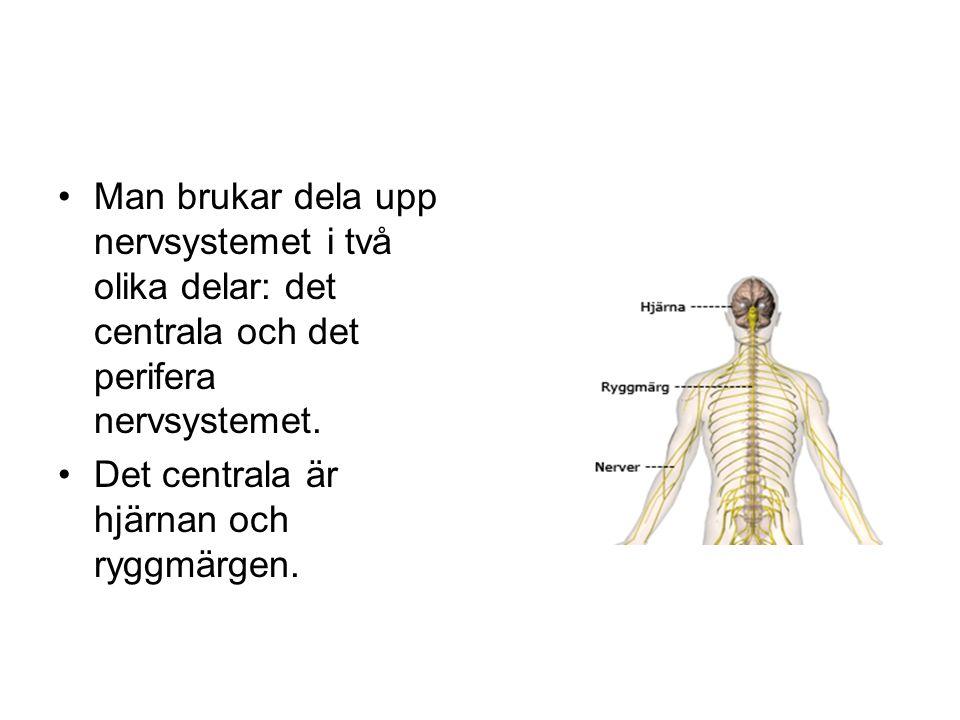 •Man brukar dela upp nervsystemet i två olika delar: det centrala och det perifera nervsystemet. •Det centrala är hjärnan och ryggmärgen.