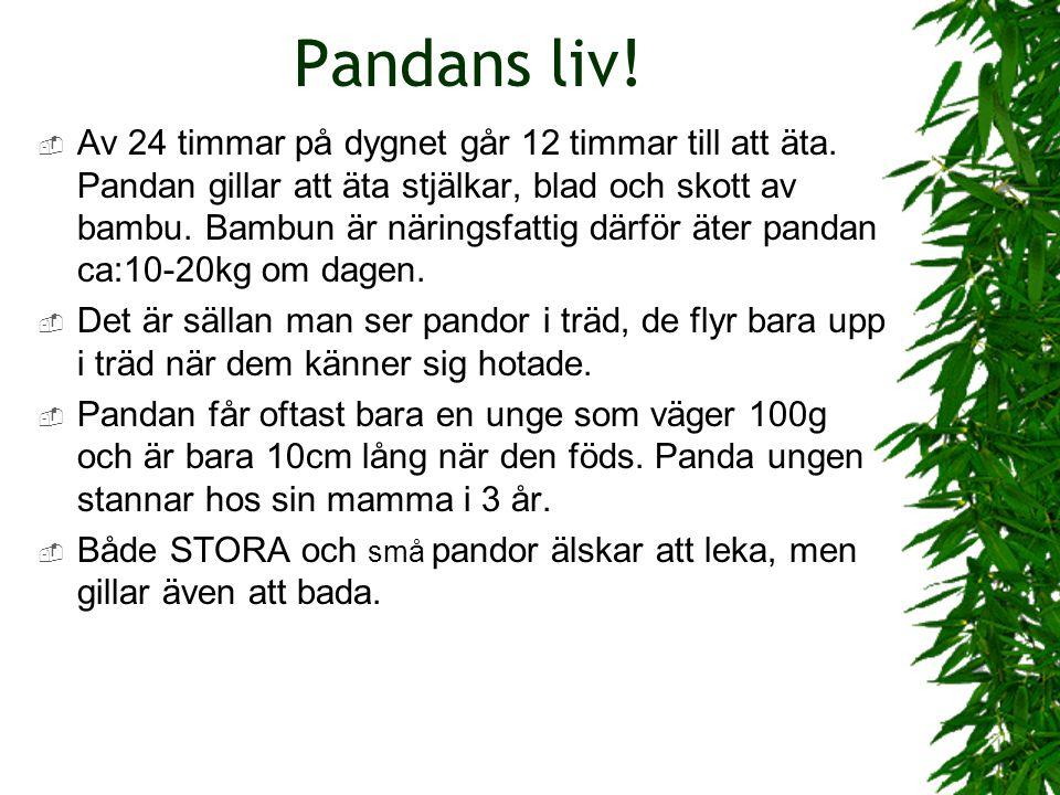 Pandan väger 160 kilo.  Det finns ca 160 pandor i fångenskap och 1600 vilda.  Pandan är bara svart och vit.  Jättepandan lever i sydvästra Kina,