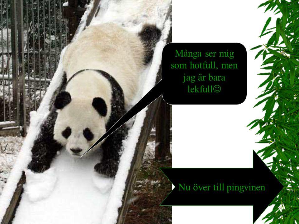 Pandans liv!  Av 24 timmar på dygnet går 12 timmar till att äta. Pandan gillar att äta stjälkar, blad och skott av bambu. Bambun är näringsfattig där
