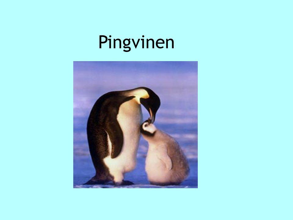 Många ser mig som hotfull, men jag är bara lekfull  Nu över till pingvinen