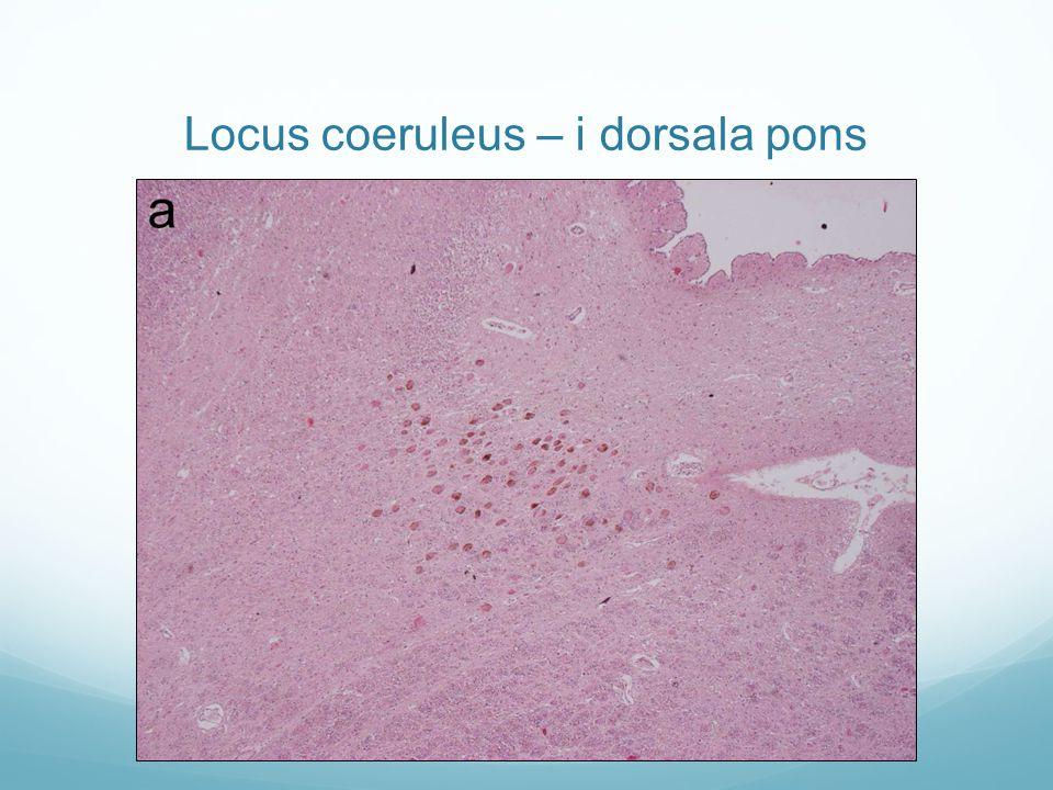 Locus coeruleus – i dorsala pons