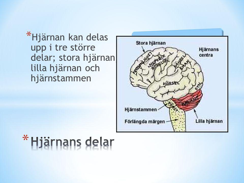 * Hjärnan kan delas upp i tre större delar; stora hjärnan, lilla hjärnan och hjärnstammen