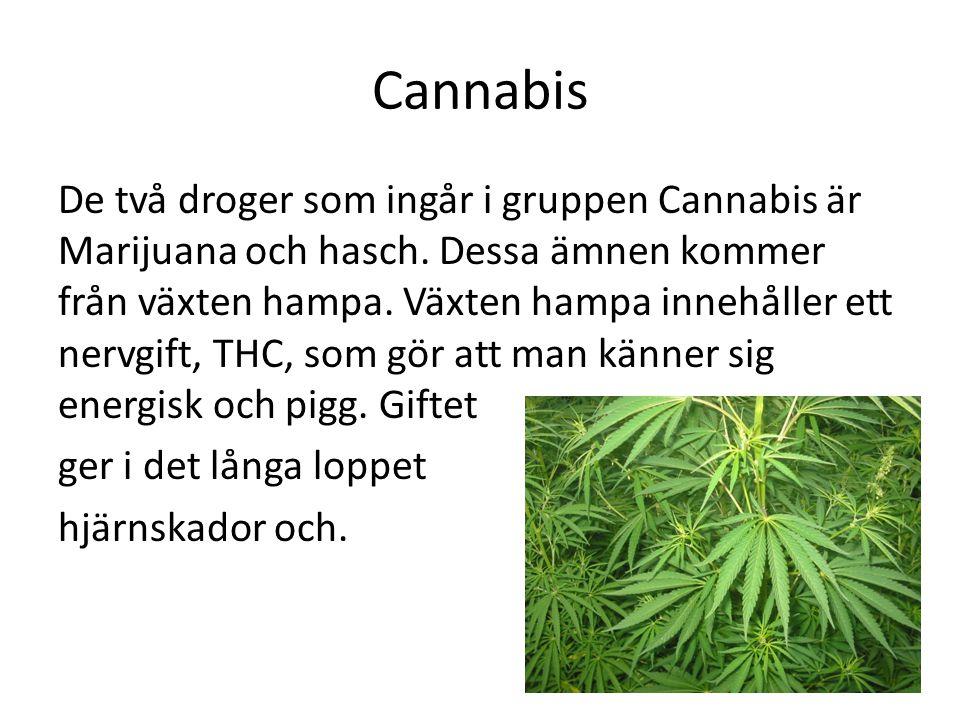 Cannabis De två droger som ingår i gruppen Cannabis är Marijuana och hasch. Dessa ämnen kommer från växten hampa. Växten hampa innehåller ett nervgift