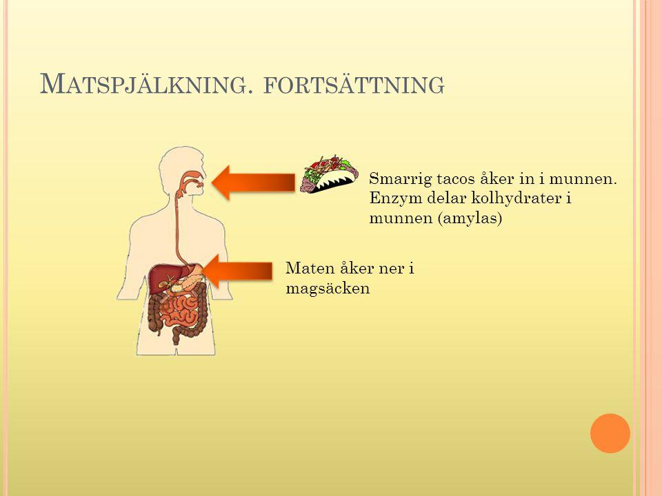 M ATSPJÄLKNING. FORTSÄTTNING Smarrig tacos åker in i munnen. Enzym delar kolhydrater i munnen (amylas) Maten åker ner i magsäcken