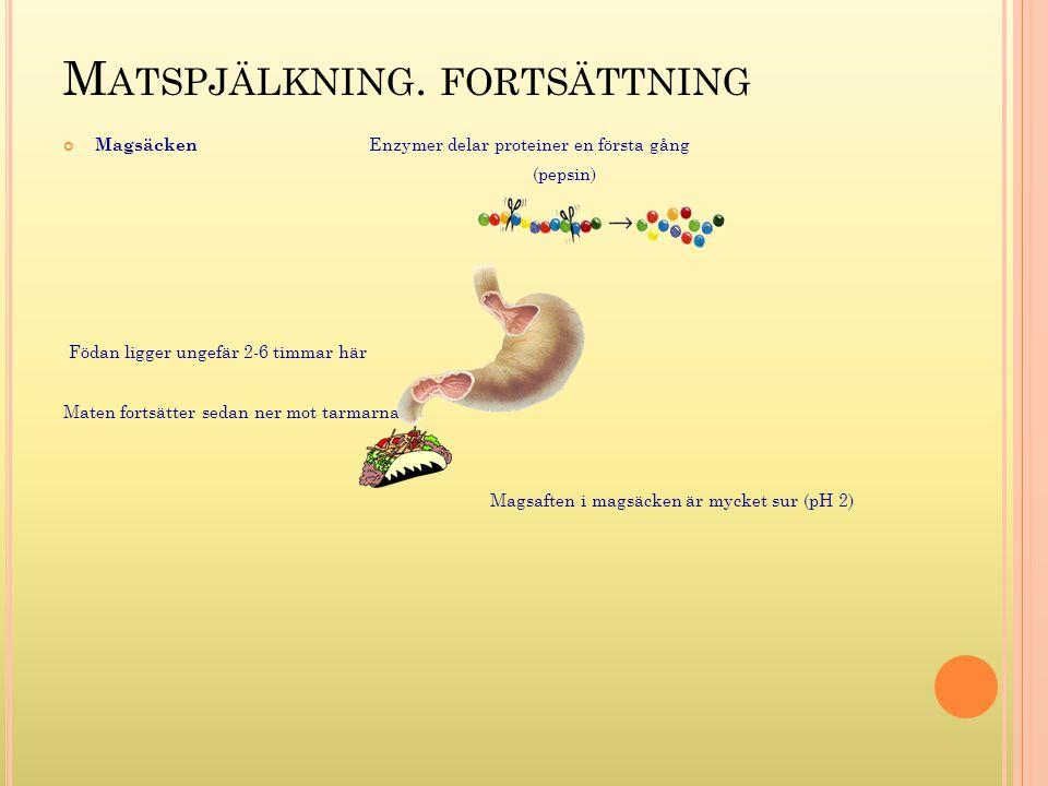 M ATSPJÄLKNING. FORTSÄTTNING Magsäcken Enzymer delar proteiner en första gång (pepsin) Födan ligger ungefär 2-6 timmar här Maten fortsätter sedan ner