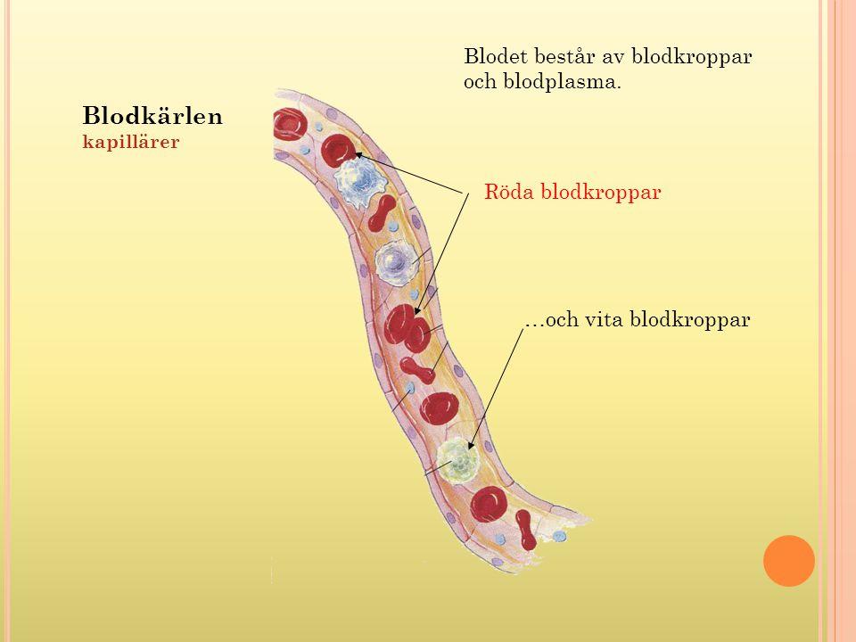 Blodkärlen kapillärer Blodet består av blodkroppar och blodplasma. Röda blodkroppar …och vita blodkroppar