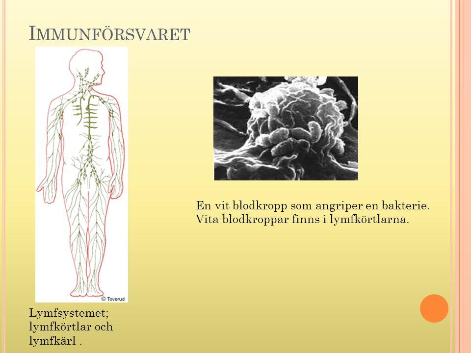 I MMUNFÖRSVARET En vit blodkropp som angriper en bakterie. Vita blodkroppar finns i lymfkörtlarna. Lymfsystemet; lymfkörtlar och lymfkärl.