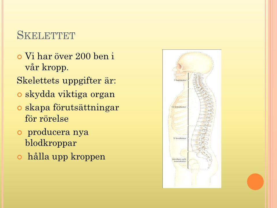 S KELETTET Vi har över 200 ben i vår kropp. Skelettets uppgifter är: skydda viktiga organ skapa förutsättningar för rörelse producera nya blodkroppar