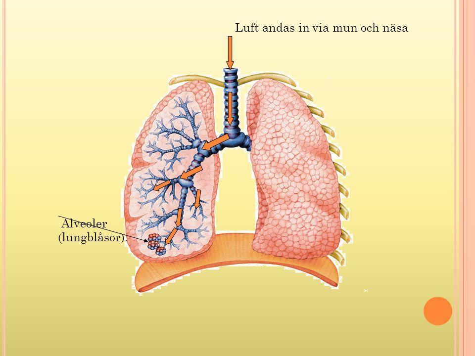 Luft andas in via mun och näsa Alveoler (lungblåsor).