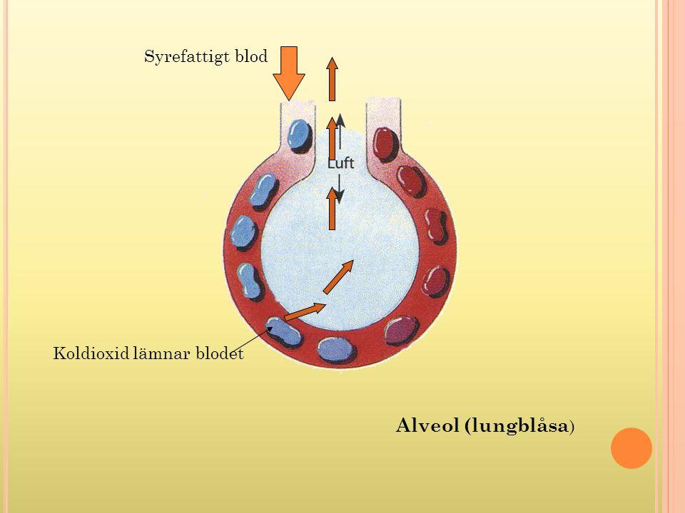 Syre i inandningsluften tas upp av blodet Syrerikt blod går mot hjärtat Alveol (lungblåsa)