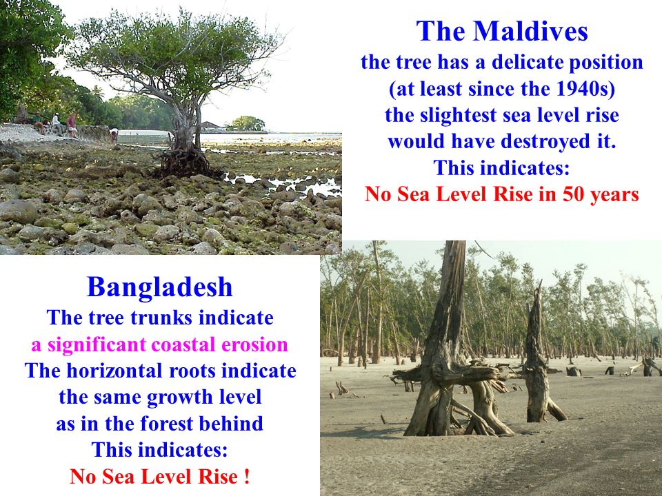 The Maldives the tree has a delicate position (at least since the 1940s) the slightest sea level rise would have destroyed it. This indicates: No Sea