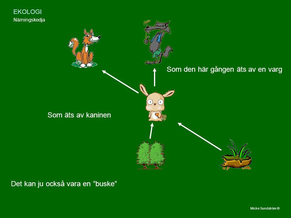 """EKOLOGI Närningskedja Det kan ju också vara en """"buske"""" Som äts av kaninen Som den här gången äts av en varg Micke Sundström ©"""