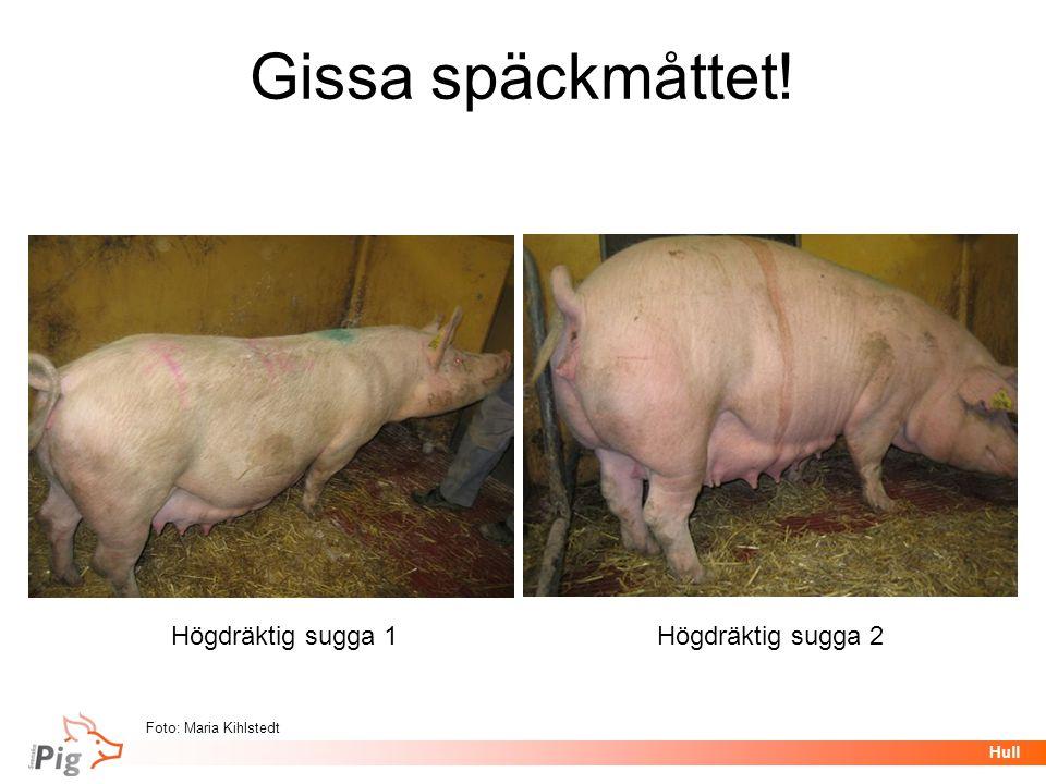 Föreläsningsrubrik / temaHull Gissa späckmåttet! Högdräktig sugga 1Högdräktig sugga 2 Foto: Maria Kihlstedt