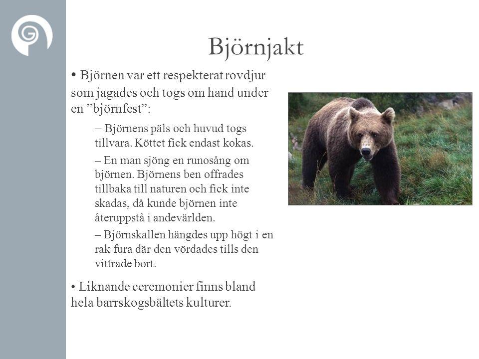 Björnjakt • Björnen var ett respekterat rovdjur som jagades och togs om hand under en björnfest : – Björnens päls och huvud togs tillvara.