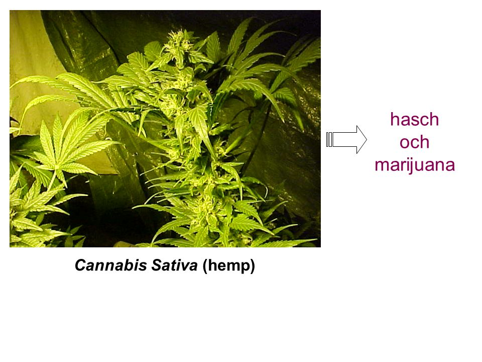 Cannabis Sativa (hemp) hasch och marijuana
