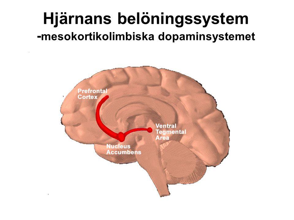 Hjärnans belöningssystem - mesokortikolimbiska dopaminsystemet