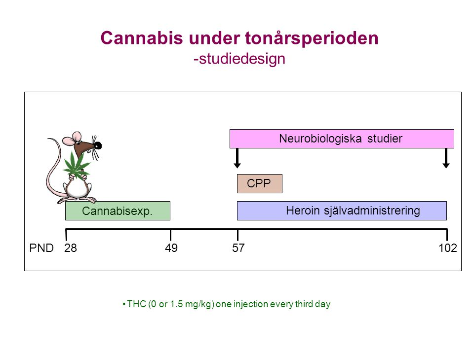 Cannabisexp. Cannabis under tonårsperioden -studiedesign Neurobiologiska studier Heroin självadministrering PND 284957102 •THC (0 or 1.5 mg/kg) one in