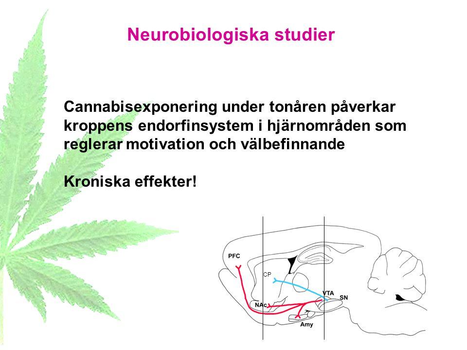 Neurobiologiska studier CP Cannabisexponering under tonåren påverkar kroppens endorfinsystem i hjärnområden som reglerar motivation och välbefinnande