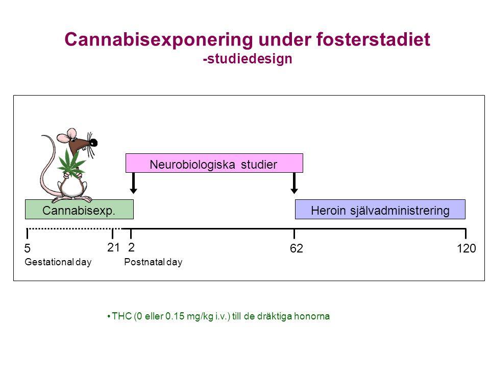 Cannabisexponering under fosterstadiet -studiedesign •THC (0 eller 0.15 mg/kg i.v.) till de dräktiga honorna Cannabisexp. Neurobiologiska studier Hero