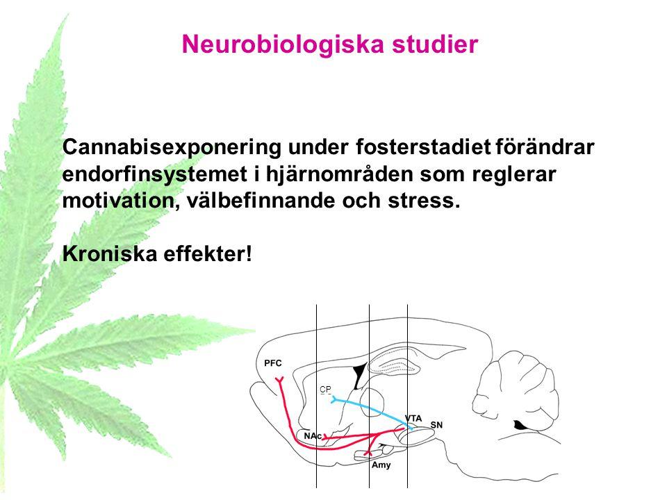 Neurobiologiska studier CP Cannabisexponering under fosterstadiet förändrar endorfinsystemet i hjärnområden som reglerar motivation, välbefinnande och