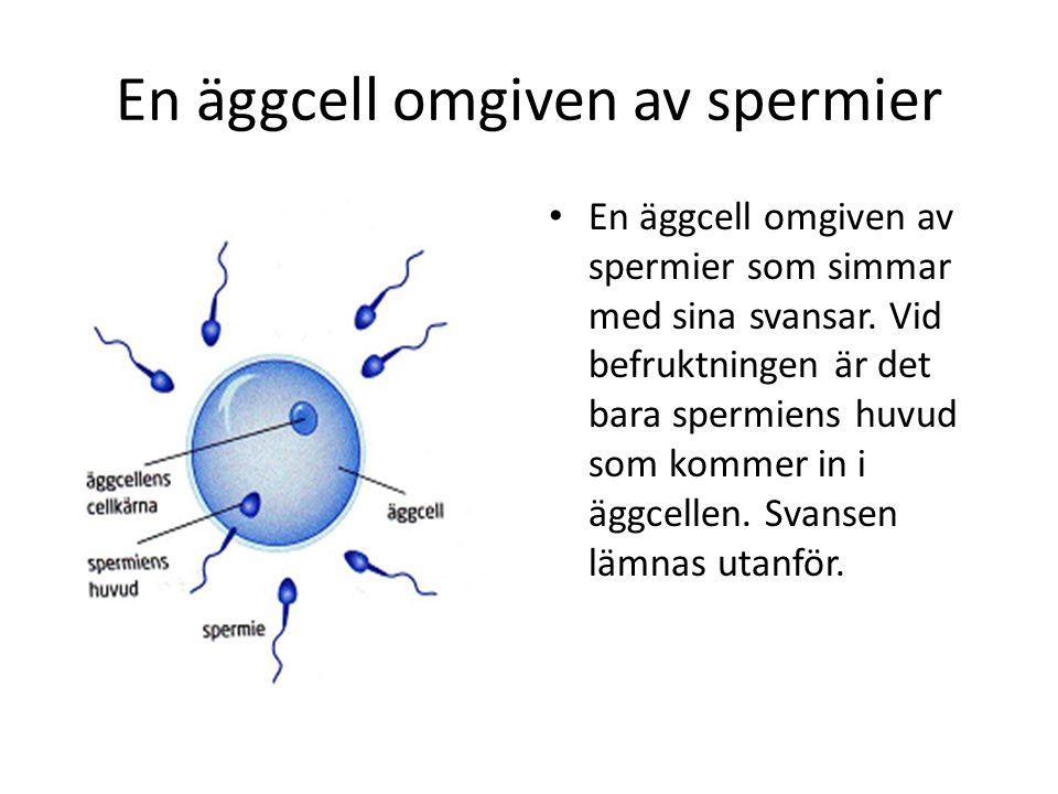 En äggcell omgiven av spermier • En äggcell omgiven av spermier som simmar med sina svansar. Vid befruktningen är det bara spermiens huvud som kommer