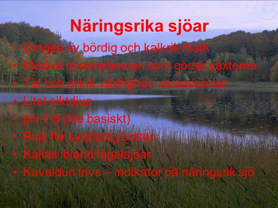 Näringsrika sjöar •Omges av bördig och kalkrik mark •Mycket mineralämnen som göder växterna •Tät och artrik växtlighet i strandzonen •Litet siktdjup •pH 7-8 (lite basiskt) •Risk för syrefattig botten •Kallas ibland fågelsjöar •Kaveldun trivs – indikator på näringsrik sjö
