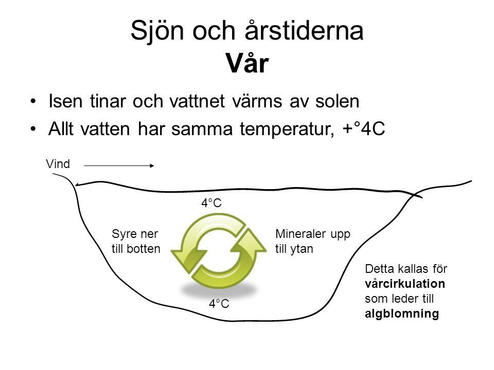 Sjön och årstiderna Vår •Isen tinar och vattnet värms av solen •Allt vatten har samma temperatur, +°4C Vind 4°C Mineraler upp till ytan Syre ner till botten Detta kallas för vårcirkulation som leder till algblomning