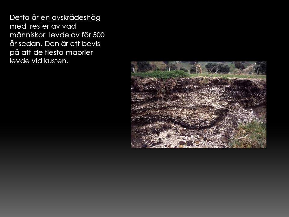 Detta är en avskrädeshög med rester av vad människor levde av för 500 år sedan. Den är ett bevis på att de flesta maorier levde vid kusten.