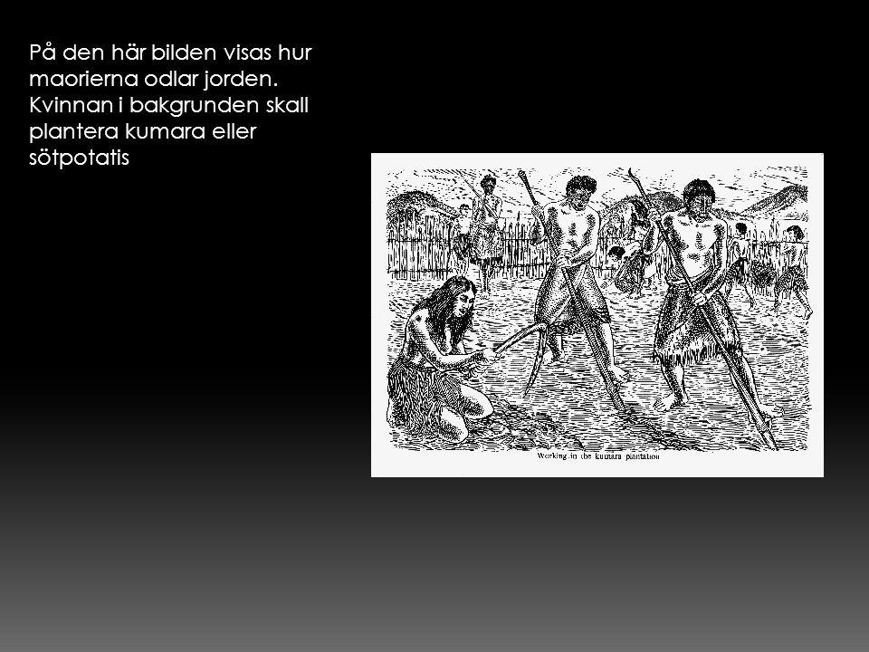 På den här bilden visas hur maorierna odlar jorden. Kvinnan i bakgrunden skall plantera kumara eller sötpotatis