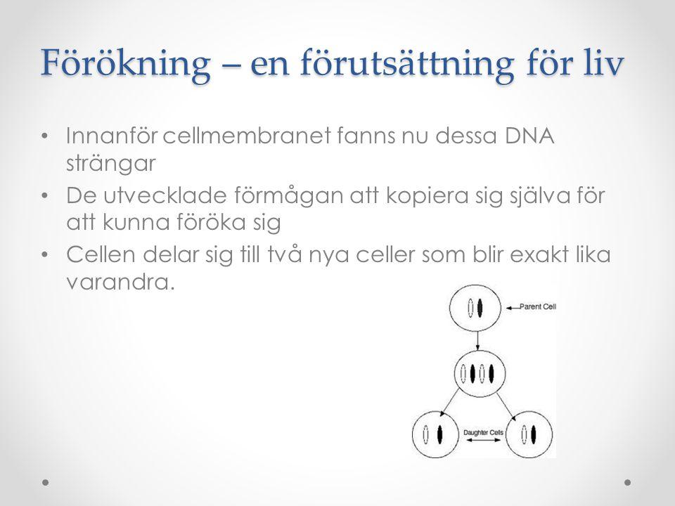 Förökning – en förutsättning för liv • Innanför cellmembranet fanns nu dessa DNA strängar • De utvecklade förmågan att kopiera sig själva för att kunn