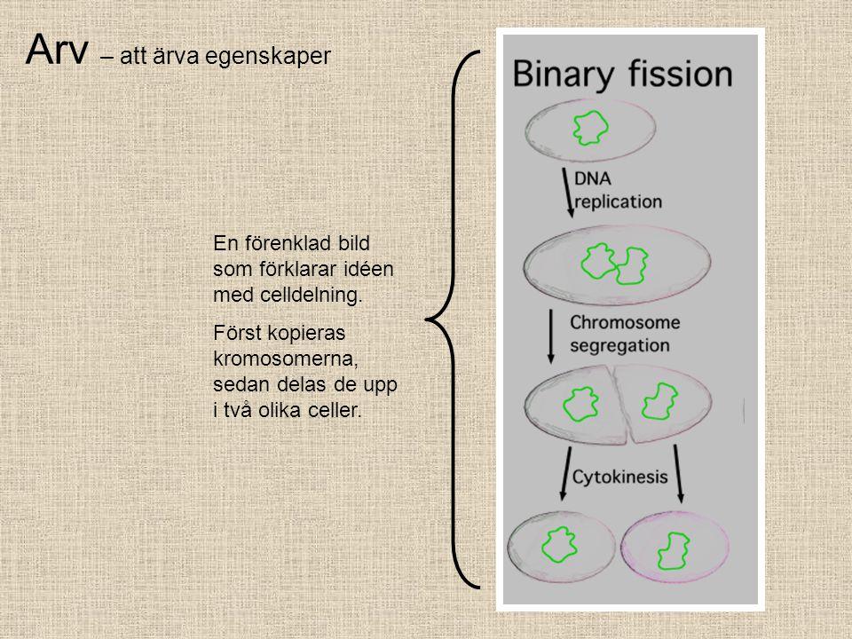 Arv – att ärva egenskaper En förenklad bild som förklarar idéen med celldelning. Först kopieras kromosomerna, sedan delas de upp i två olika celler.