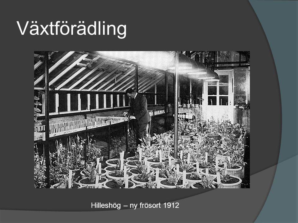 Växtförädling Hilleshög – ny frösort 1912