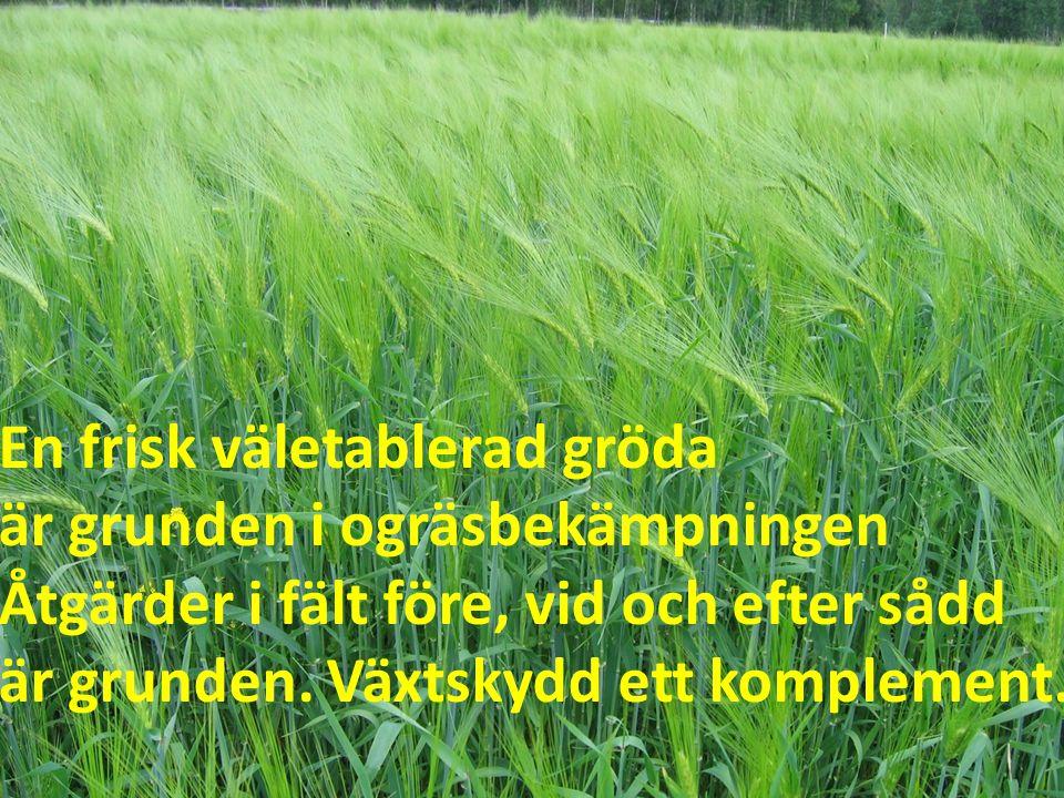 En frisk väletablerad gröda är grunden i ogräsbekämpningen Åtgärder i fält före, vid och efter sådd är grunden.
