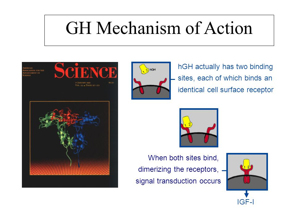 hGH actually has two binding sites, each of which binds an identical cell surface receptor When both sites bind, dimerizing the receptors, signal transduction occurs IGF-I GH Mechanism of Action