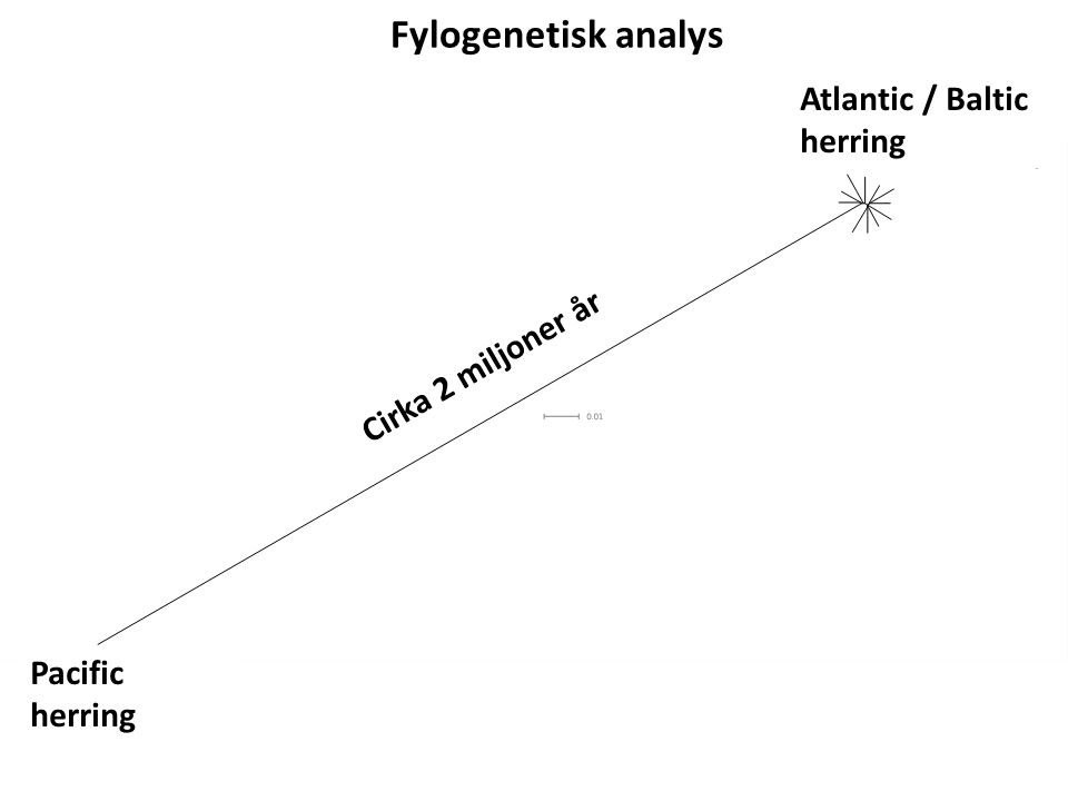 Fylogenetisk analys Pacific herring Atlantic / Baltic herring Cirka 2 miljoner år