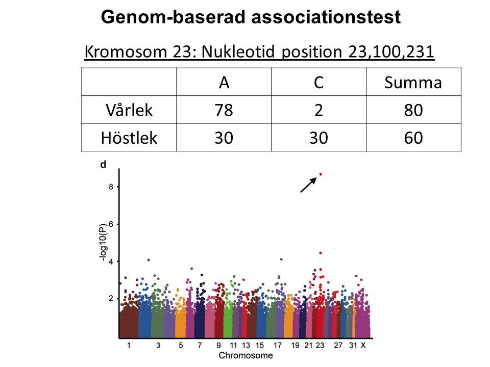 Kromosom 23: Nukleotid position 23,100,231 Genom-baserad associationstest ACSumma Vårlek78280 Höstlek30 60