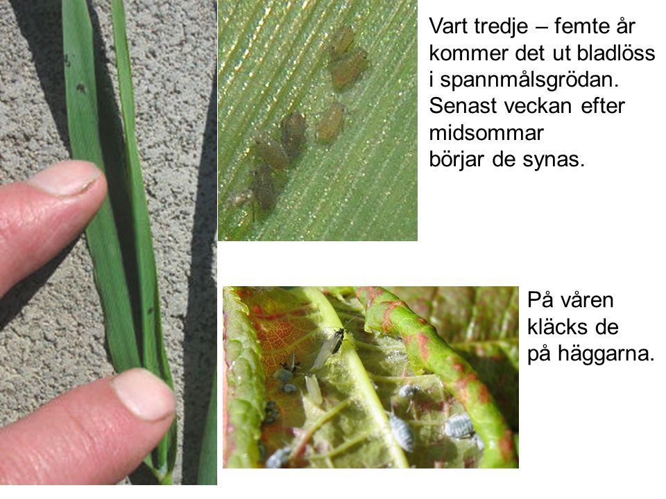 Vart tredje – femte år kommer det ut bladlöss i spannmålsgrödan.