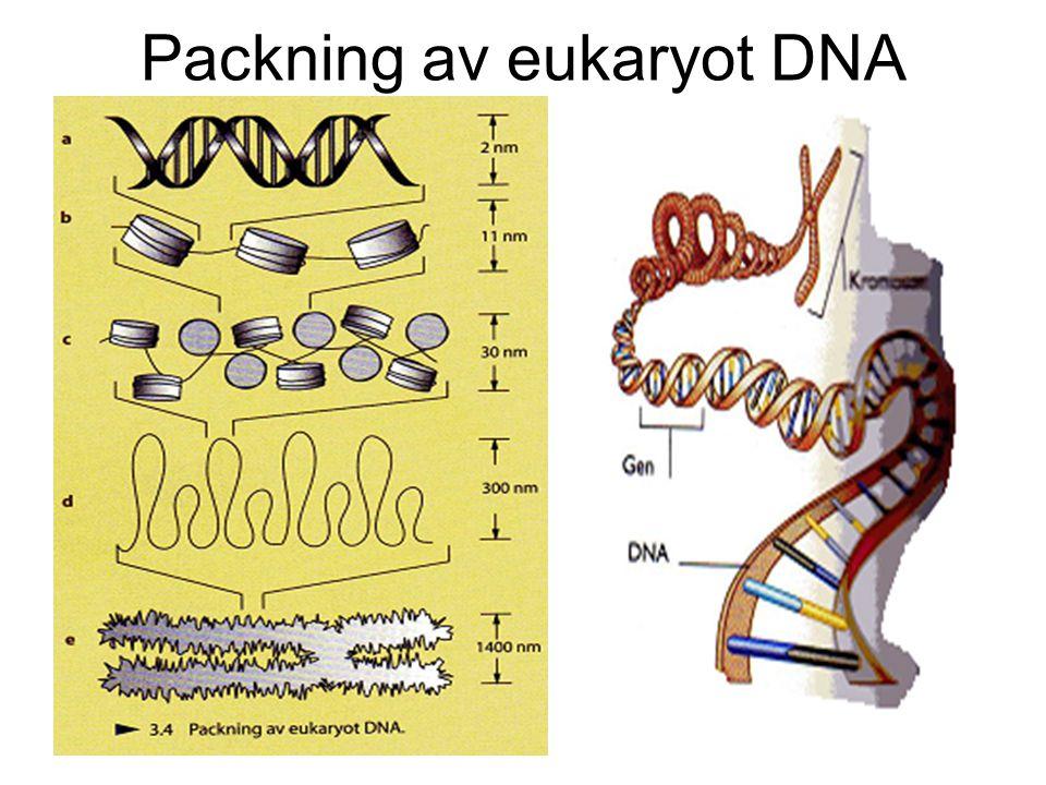 Packning av eukaryot DNA