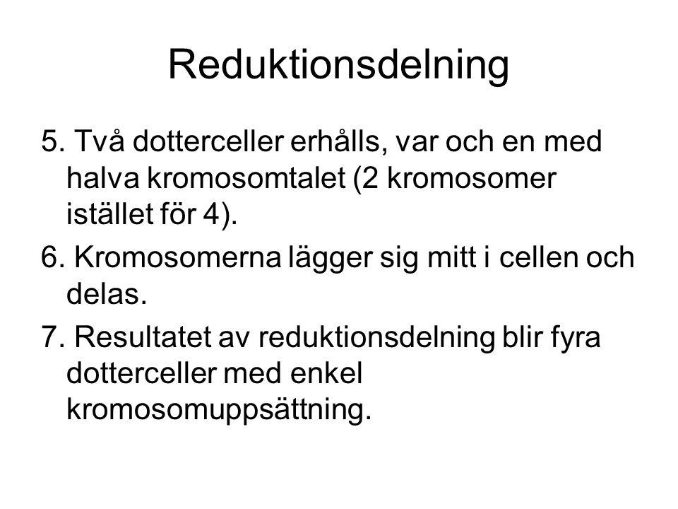 Reduktionsdelning 5.