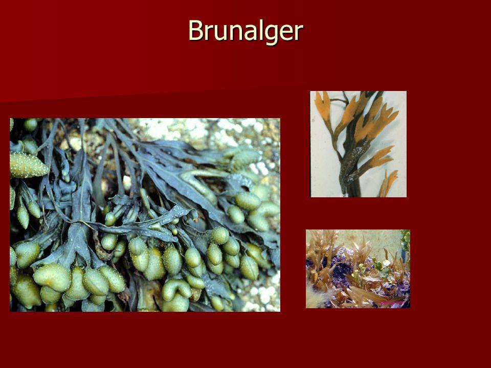 Brunalger