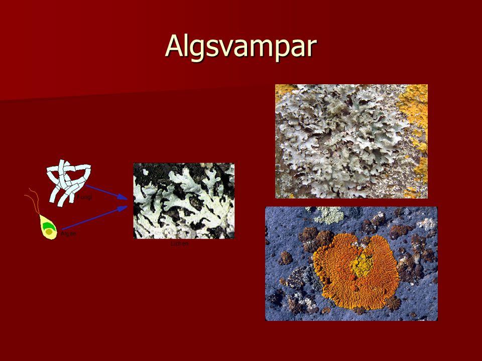 Algsvampar