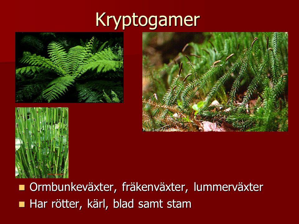 Kryptogamer  Ormbunkeväxter, fräkenväxter, lummerväxter  Har rötter, kärl, blad samt stam
